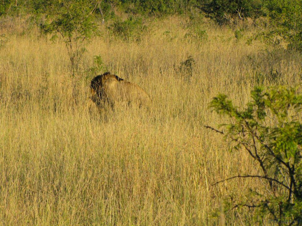 kruger-mating-lion