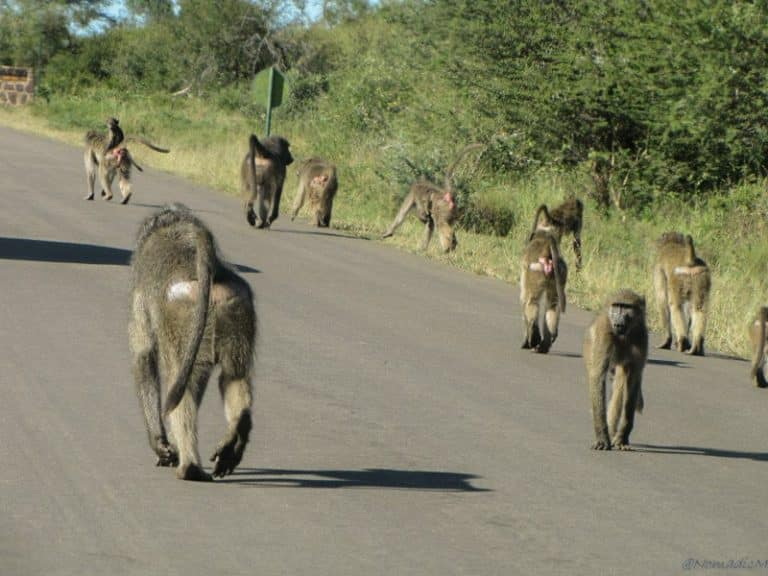 baboon gang blocking the road