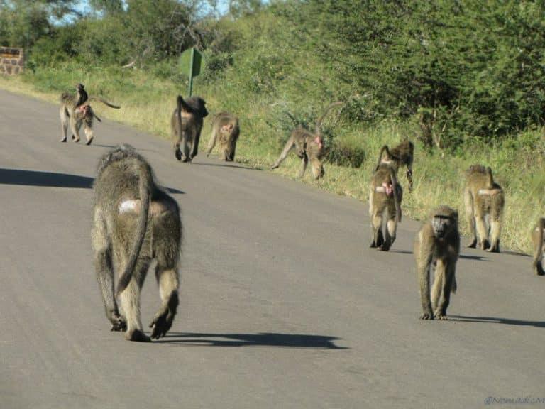 baboon gang blocking the road