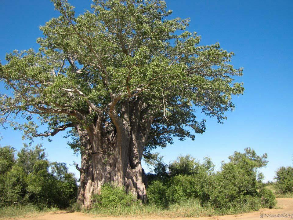 baobab-tree-kruger