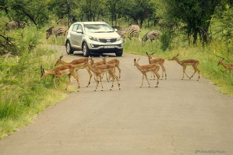 traffic jam by impala in kruger national park