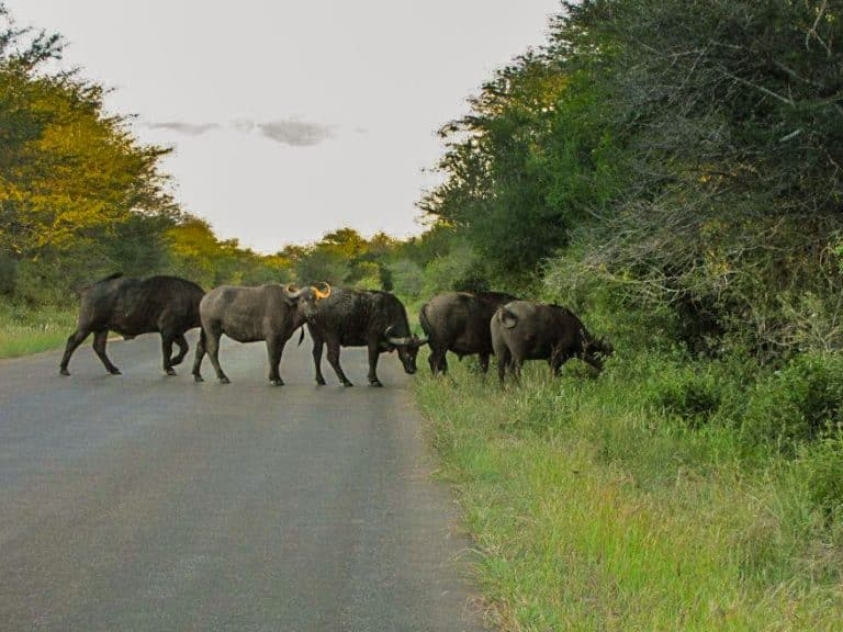 buffalo crossing road