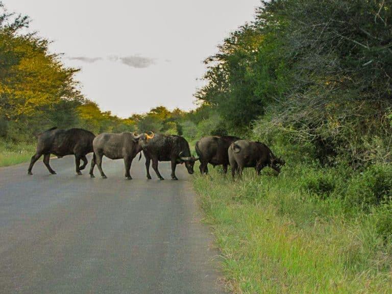 buffalo crossing road