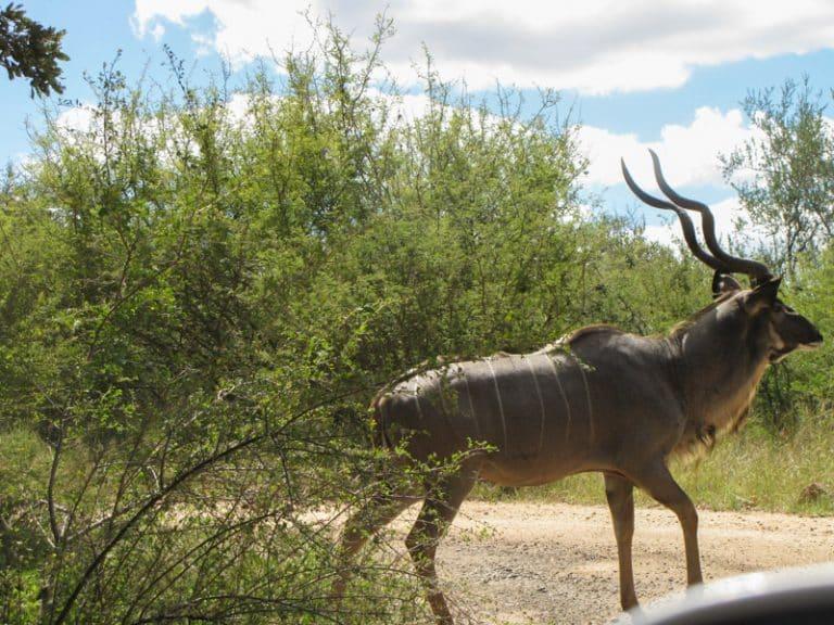 Kudu in kruger national park