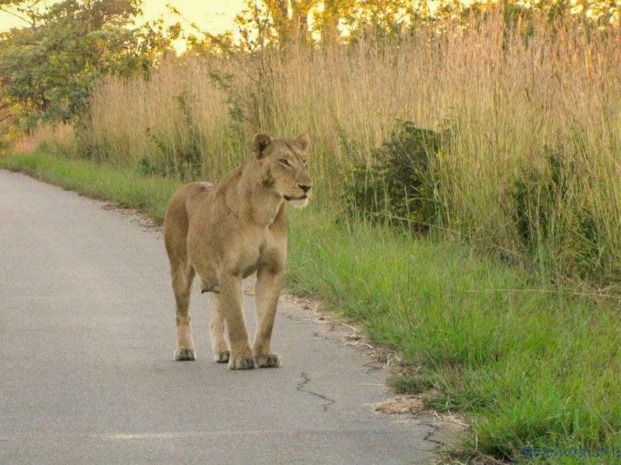 kruger-lion