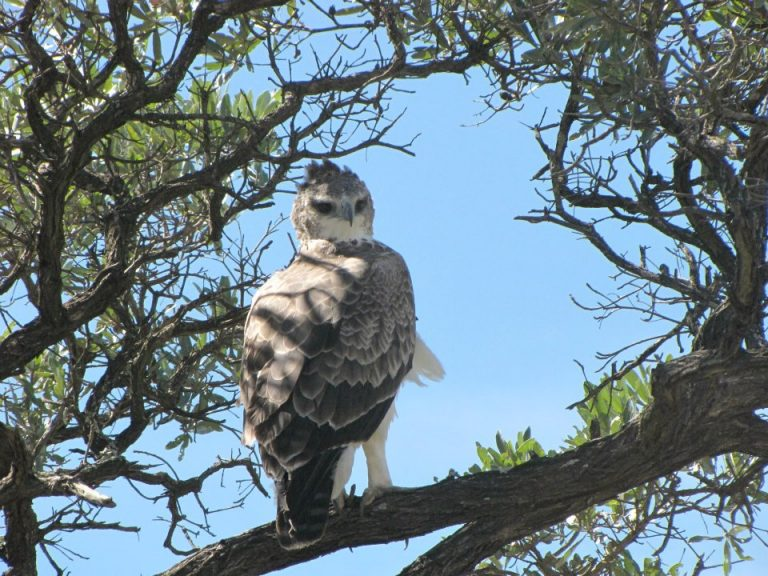 martial eagle in kruger national park
