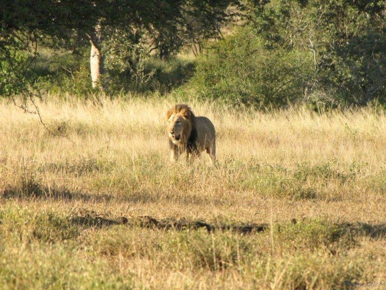 lion the boss