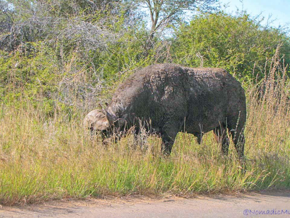 african-wild-buffalo