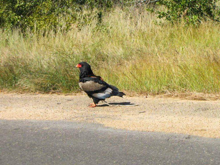 bateleur eagle in kruger-national-park