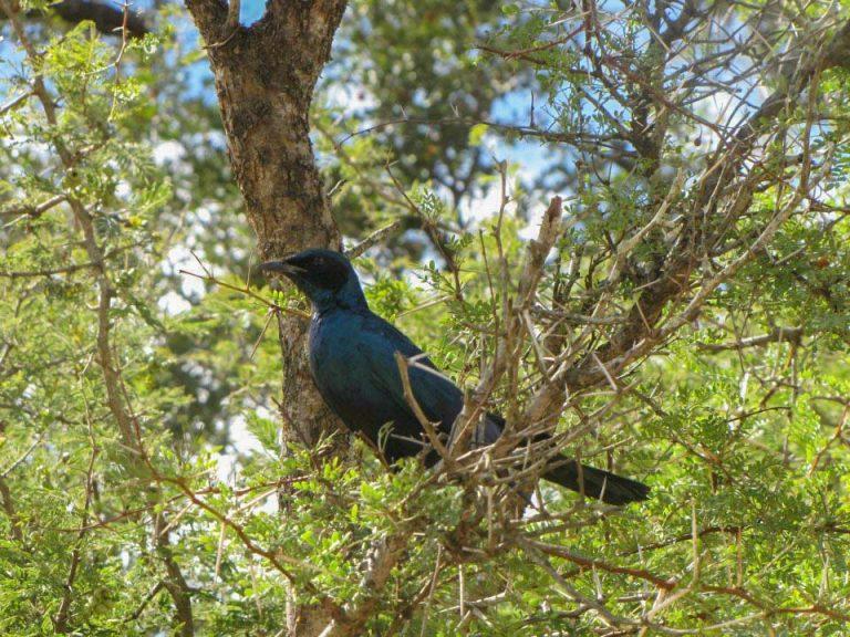 cape glossy sterling in kruger national park