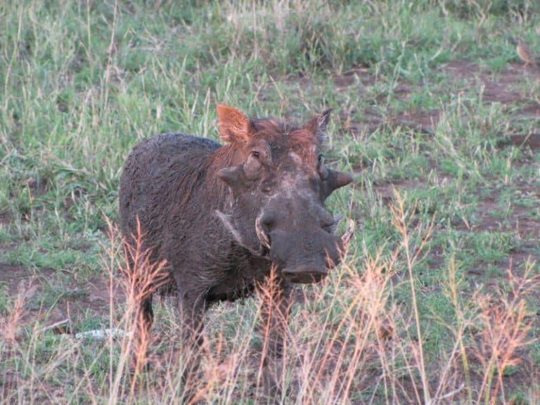 warthog in kruger national park