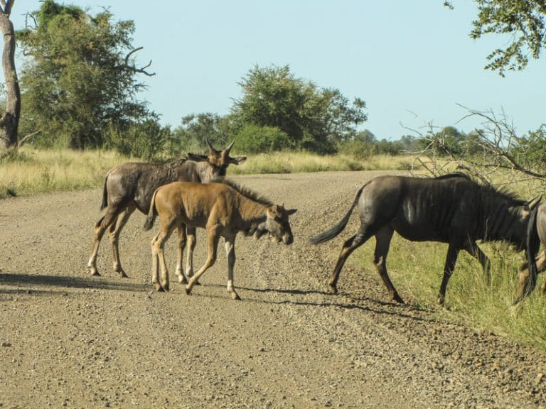 wilde-beest in kruger national park