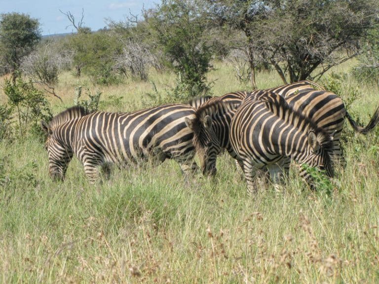 zebra grazing in kruger national park