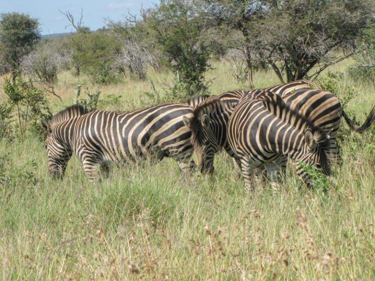 zebra grazing in kruger national park
