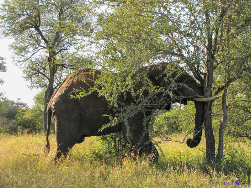addicted-elephant-kruger