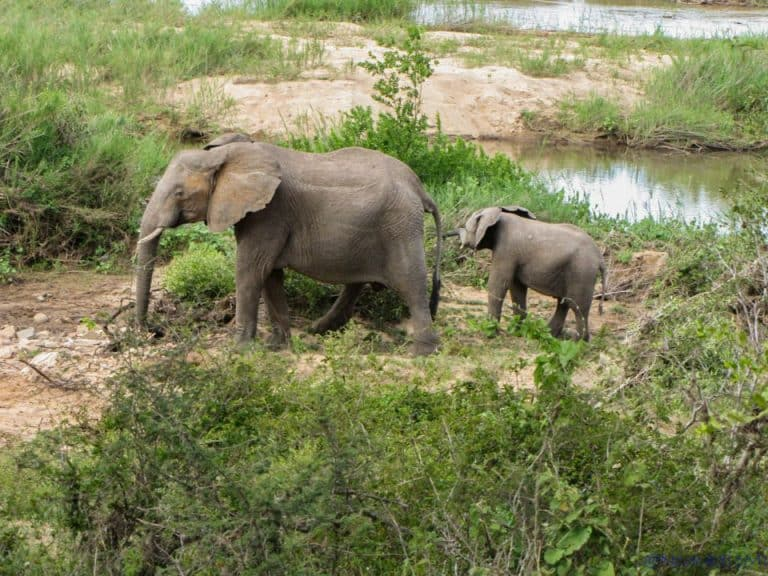 elephant family in kruger national park